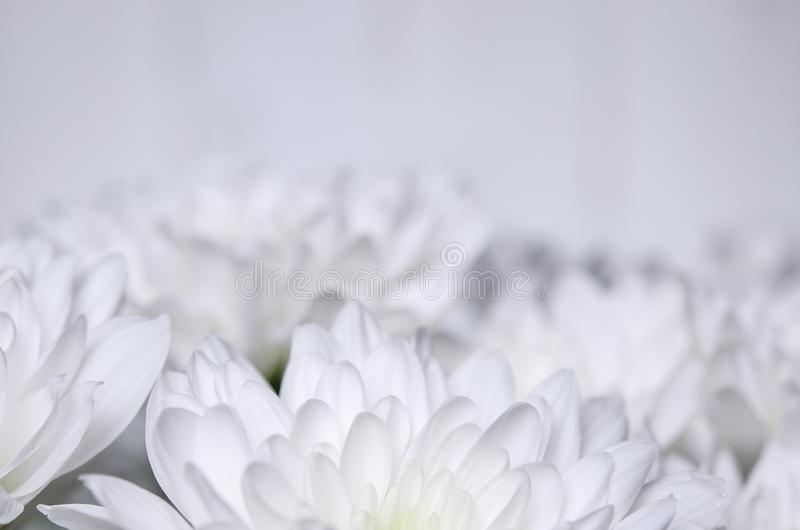 Large bouquet of white chrysanthemums with green stems stands against a white wooden wall. close-up stock image
