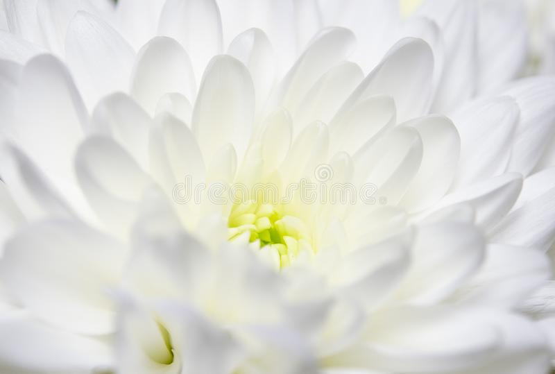 Large bouquet of white chrysanthemums with green stems stands against a white wooden wall. close-up. Macro. A large bouquet of white chrysanthemums with green royalty free stock image