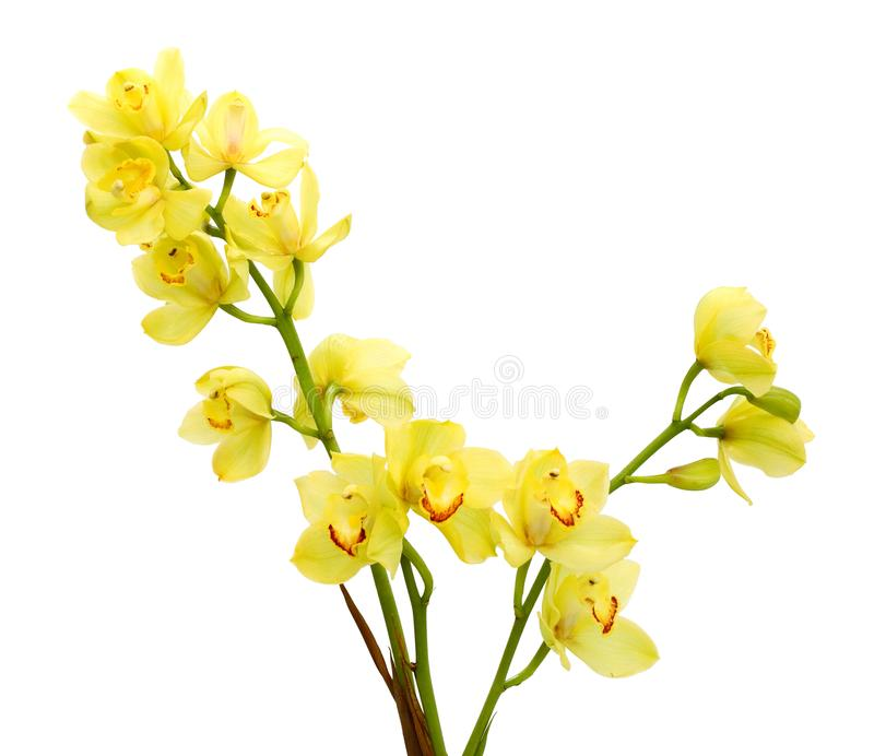 Light yellow orchid flowers isolated on white. royalty free stock photo