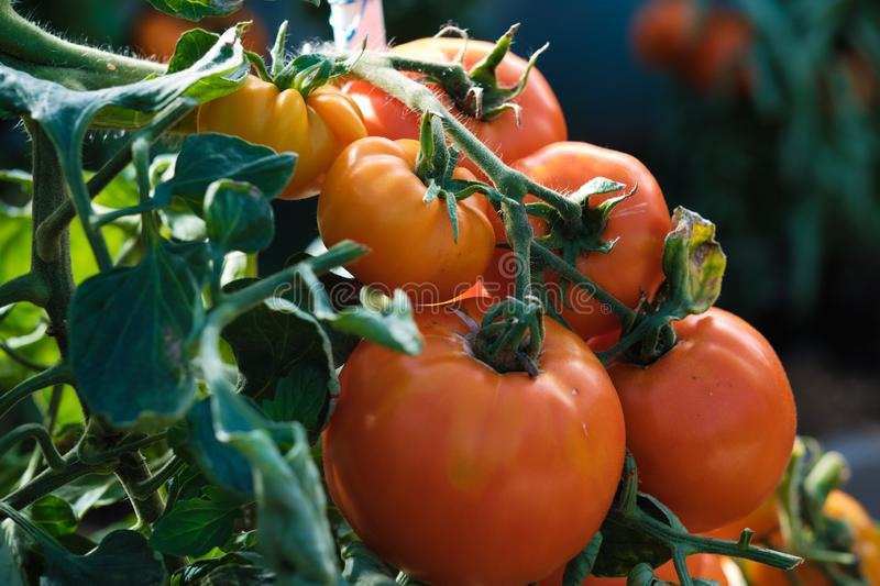 Large branch with medium-sized pink and red tomatoes. Summer harvest of vegetables. Illuminated by bright sunshine stock photography