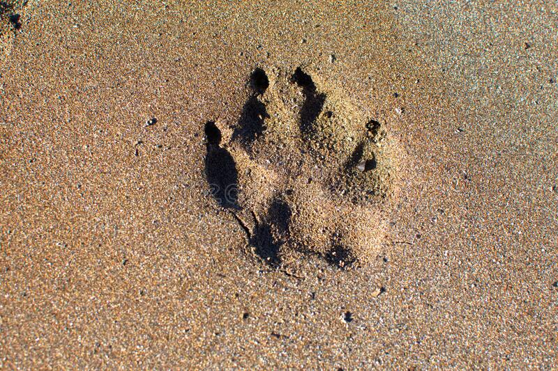 A dog paw print in the sand. A large breed dog paw print in the brown sand royalty free stock photography