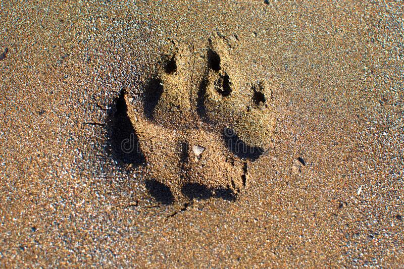 A dog paw print in the sand. A large breed dog paw print in the brown sand stock photography