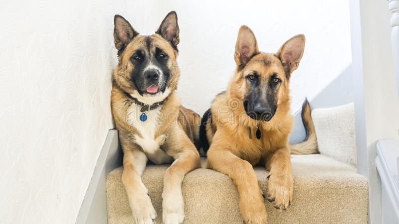 Large Breed Dogs. Two large breed dogs laying on stairs. An Akita Inu on the left and German Shepherd on the right stock images