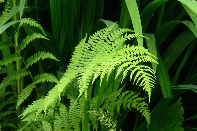Large bright green leaves of the fern Polypodiophyta. Wet forest on the Azores, Portugal, San Miguel royalty free stock photography