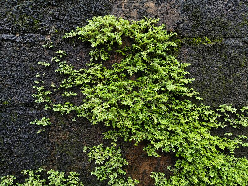 Large bright green moss on a wet wall, mossy wall texture or background stock images