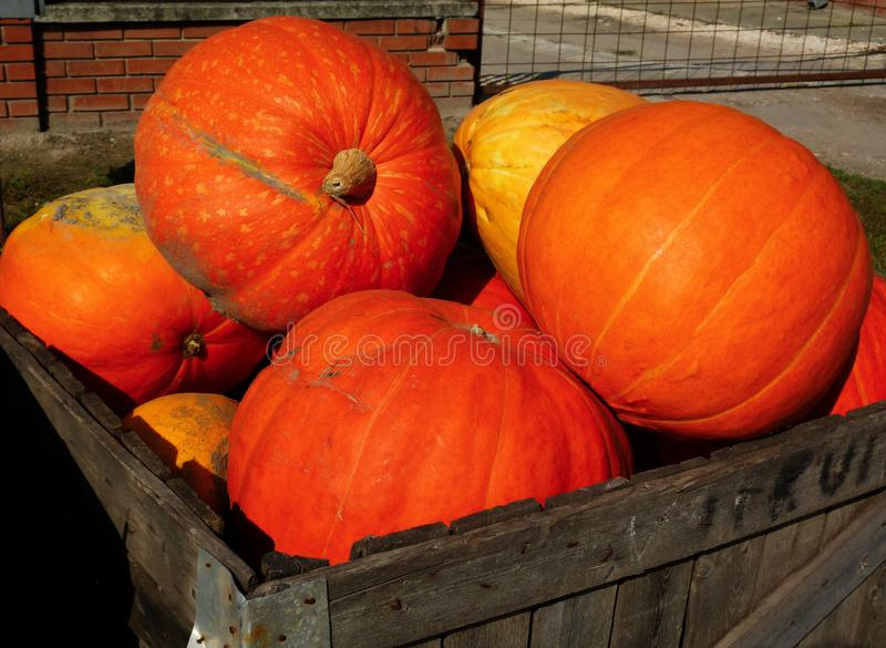 Large orange pumpkins in wooden storage box. Holloween concept. Large bright orange pumpkins in textured brown wooden storage box. bright sunlight with shadow royalty free stock photo