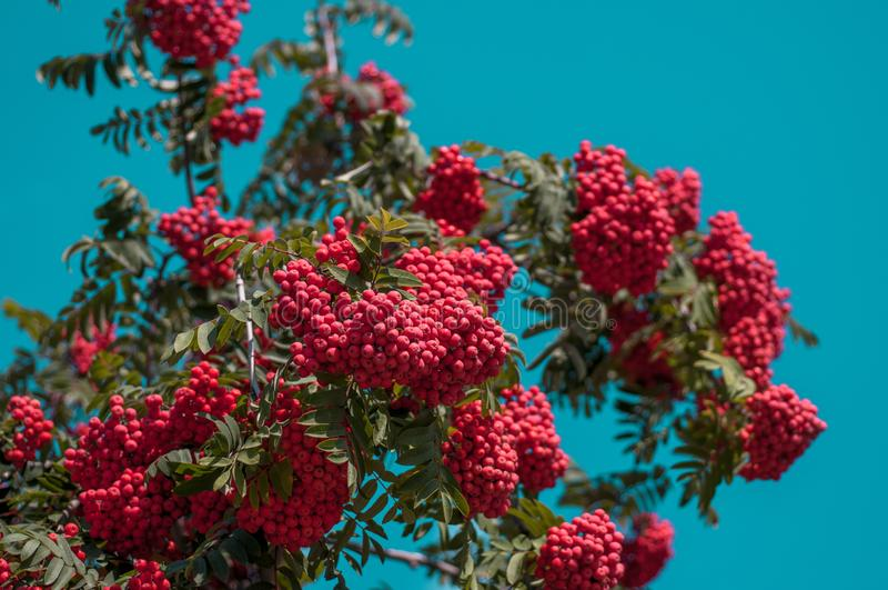 Large bright red bunch of mountain ash against a blue cloudless sky. In autumn sunny day royalty free stock photography
