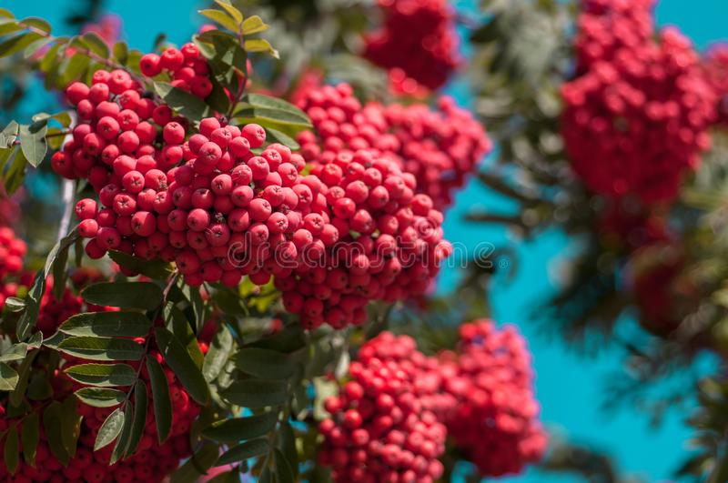 Large bright red bunch of mountain ash against a blue cloudless sky. In autumn sunny day stock photos