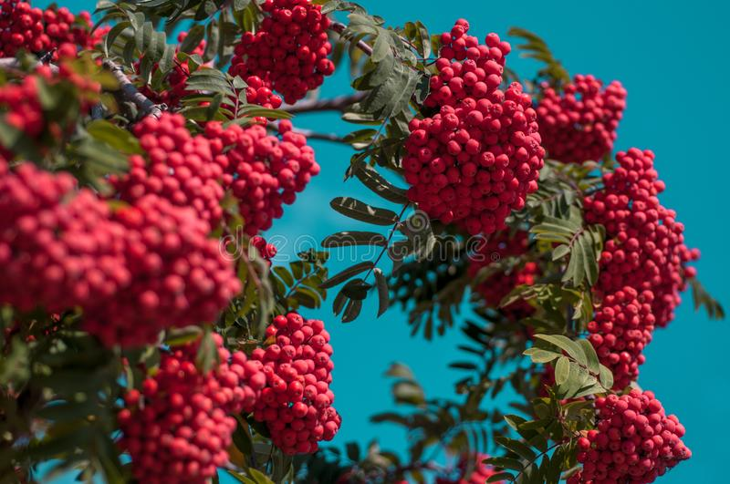 Large bright red bunch of mountain ash against a blue cloudless sky. In autumn sunny day stock images