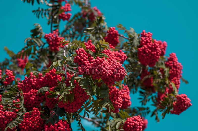 Large bright red bunch of mountain ash against a blue cloudless sky. In autumn sunny day royalty free stock image
