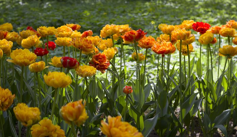 Bright yellow tulips lit by the sun on the background of other flowers. Large bright yellow tulips lit by the sun on the background of other flowers stock photography