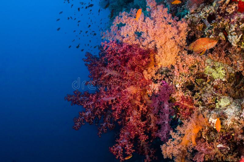 Large brightly colored soft coral growing on the reef stock photos