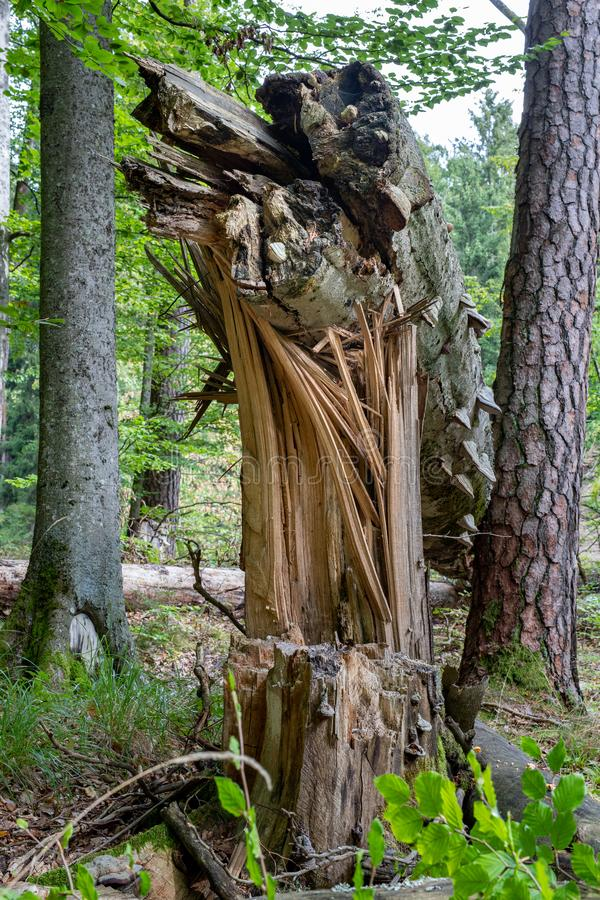 A large broken tree in the forest. A nature reserve in Central Europe royalty free stock photo