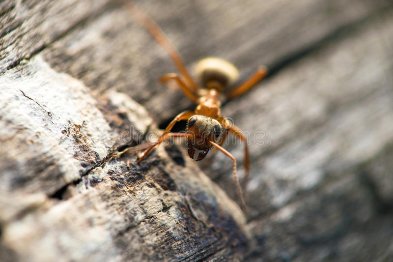 A large brown ant crawls along a wooden surface. Macro stock image