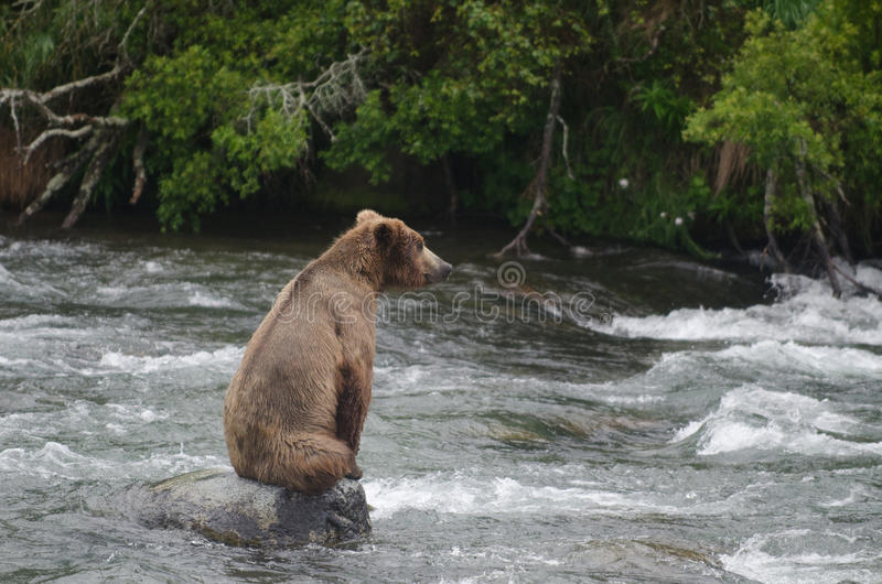 Large Brown Bear sitting on rock stock photography