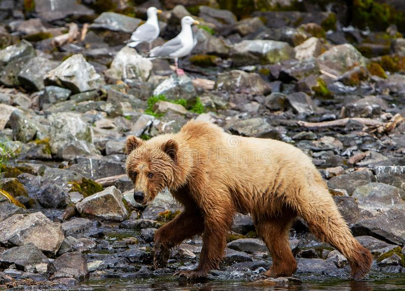 A large Brown Bear Ursus arctos on the shore of Redoubt Lake in the Alaskan wilderness. royalty free stock photo