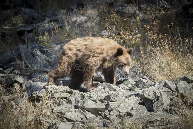 Brown bear walking on the rocks royalty free stock images