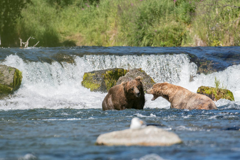 Large brown bears at Brooks Falls stock photo