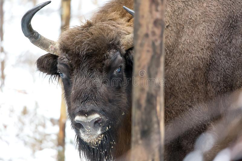 Large brown bison Wisent portrait in winter forest with snow. Herd Of European Aurochs Bison, Bison Bonasus. Nature habitat royalty free stock image