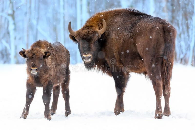 Large brown bisons Wisent family near winter forest with snow. Herd Of European Aurochs Bison, Bison Bonasus. Nature habitat. royalty free stock images
