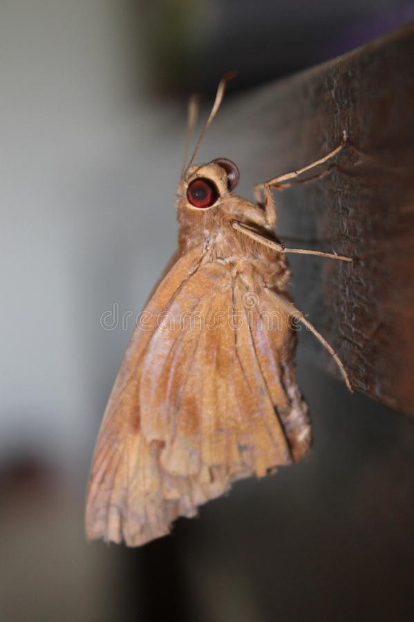 Large Brown Butterfly royalty free stock image