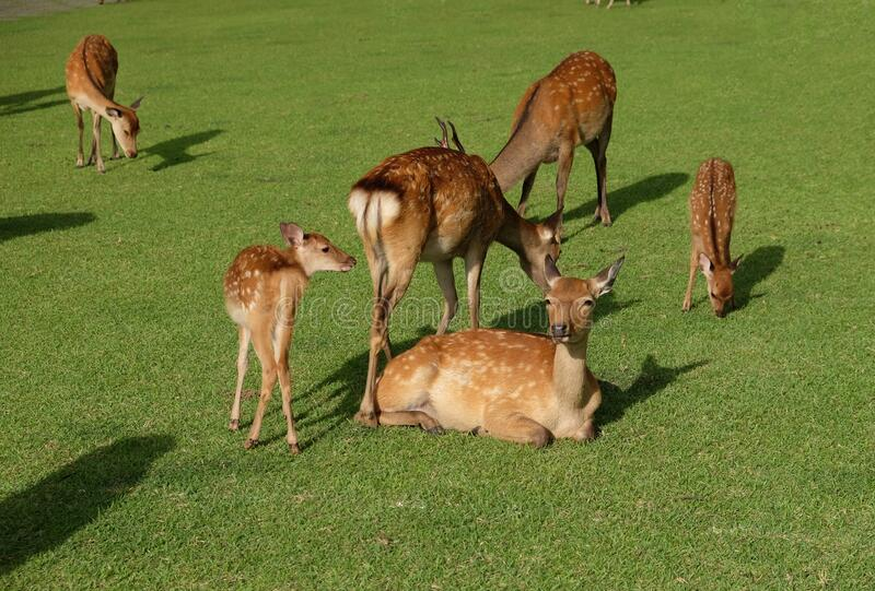 Large brown deer family having a rest on a green meadow in Japan. The animals live quiet in this Japanese dream land royalty free stock photos