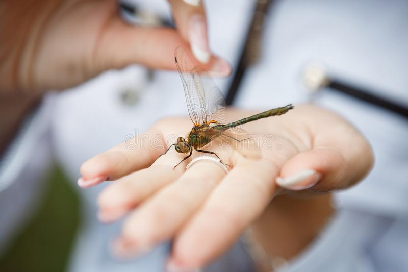 A large brown dragonfly with green sits on the female palm. Fingers hold a transparent insect wing. Horizontal frame stock photos