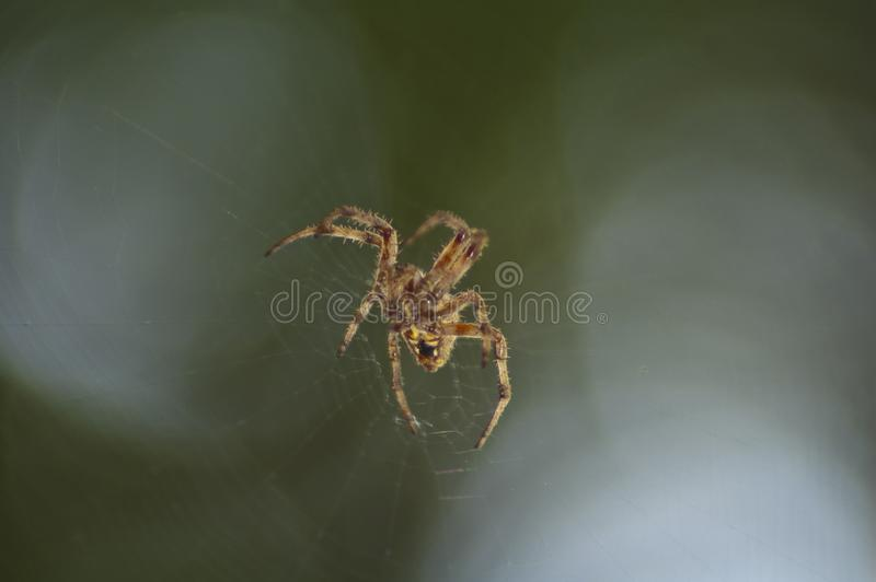 Large Brown Female Garden orb weaver Spider Family Araneidae, Genus: Eriophora. Large Brown Female Garden orb weaver Spider on cobweb quickly takes up her royalty free stock images