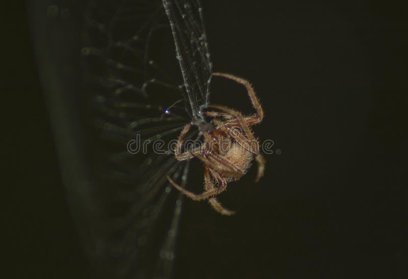 Large Brown Female Garden orb weaver Spider Family Araneidae, Genus: Eriophora. Large Brown Female Garden orb weaver Spider on cobweb quickly takes up her royalty free stock photos