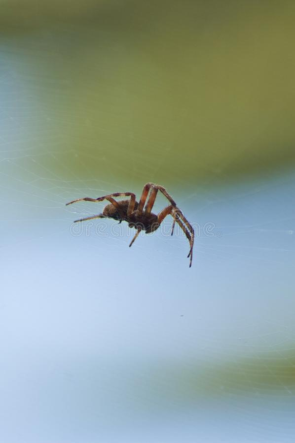 Large Brown Female Garden orb weaver Spider Family Araneidae, Genus: Eriophora. Large Brown Female Garden orb weaver Spider on cobweb quickly takes up her stock image
