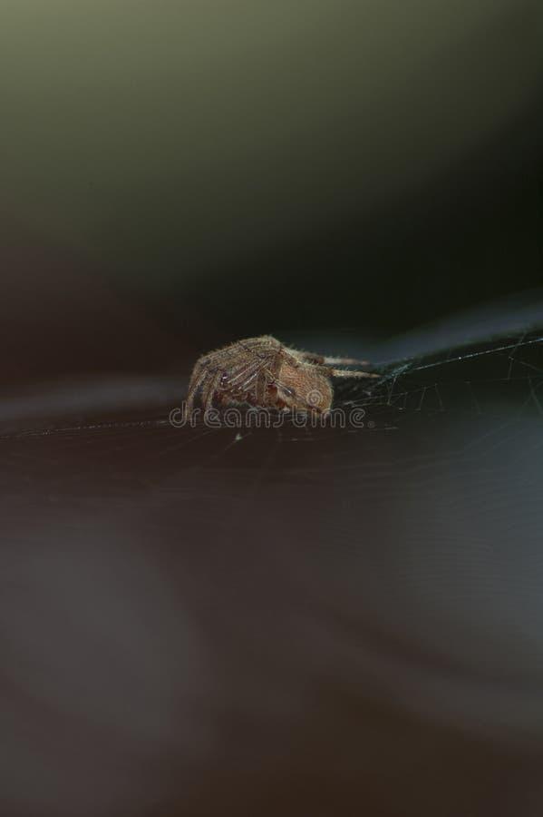 Large Brown Female Garden orb weaver Spider Family Araneidae, Genus: Eriophora. Large Brown Female Garden orb weaver Spider on cobweb quickly takes up her stock images