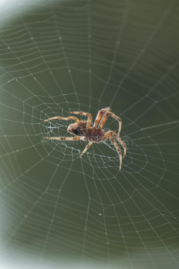 Large Brown Female Garden orb weaver Spider Family Araneidae, Genus: Eriophora. Large Brown Female Garden orb weaver Spider on cobweb quickly takes up her stock photography