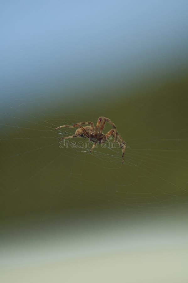 Large Brown Female Garden orb weaver Spider Family Araneidae, Genus: Eriophora. Large Brown Female Garden orb weaver Spider on cobweb quickly takes up her royalty free stock photography