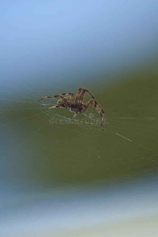 Large Brown Female Garden orb weaver Spider Family Araneidae, Genus: Eriophora. Large Brown Female Garden orb weaver Spider on cobweb quickly takes up her royalty free stock image