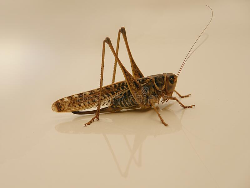 Large brown grasshopper. On a summer day royalty free stock images