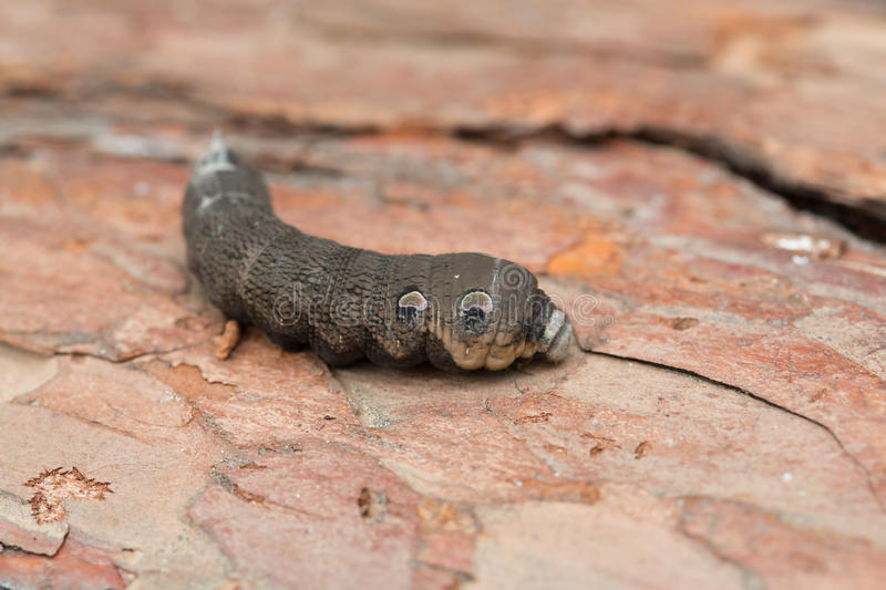 monster moth a large brown moth caterpillar stock photo image 86716156