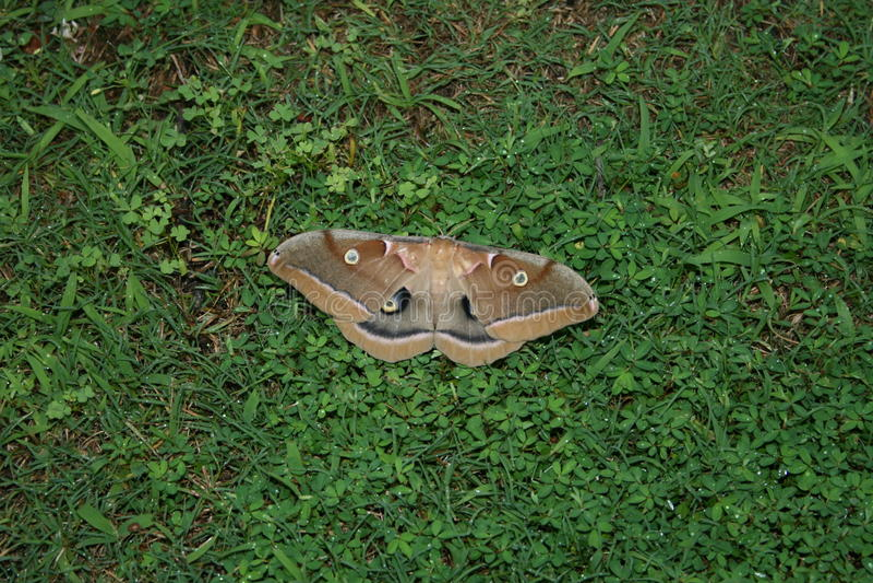 Large Brown Moth royalty free stock photos
