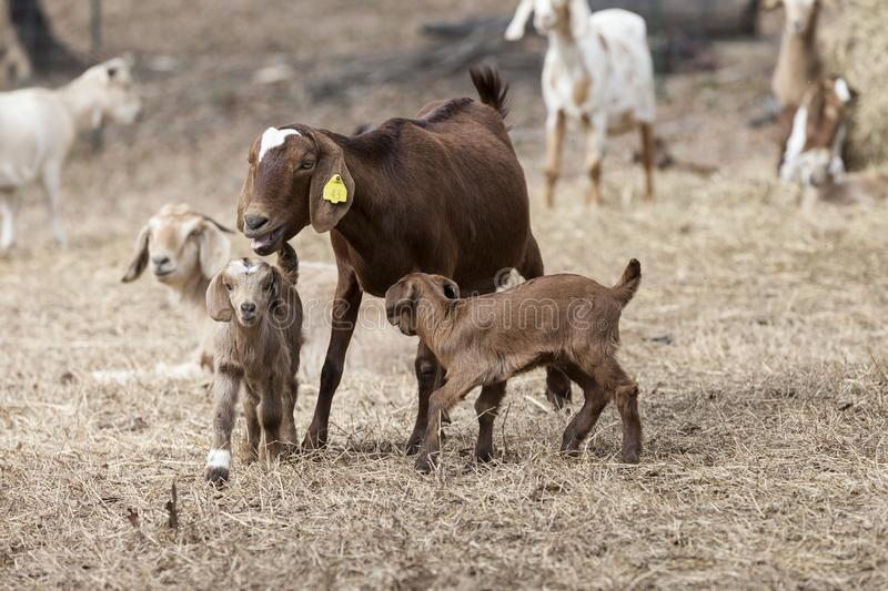 Large brown nanny goat with babies in pasture field, surrounded by herd. stock photo