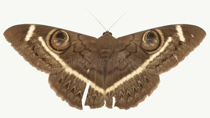 Large Brown Owl Moth. A large brown owl moth isolated on a white background. This guy had been flying around for a while so has a little damage on his wings royalty free stock images