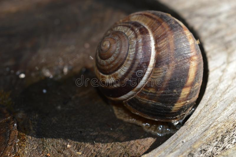 Large brown snail on a stump stock images