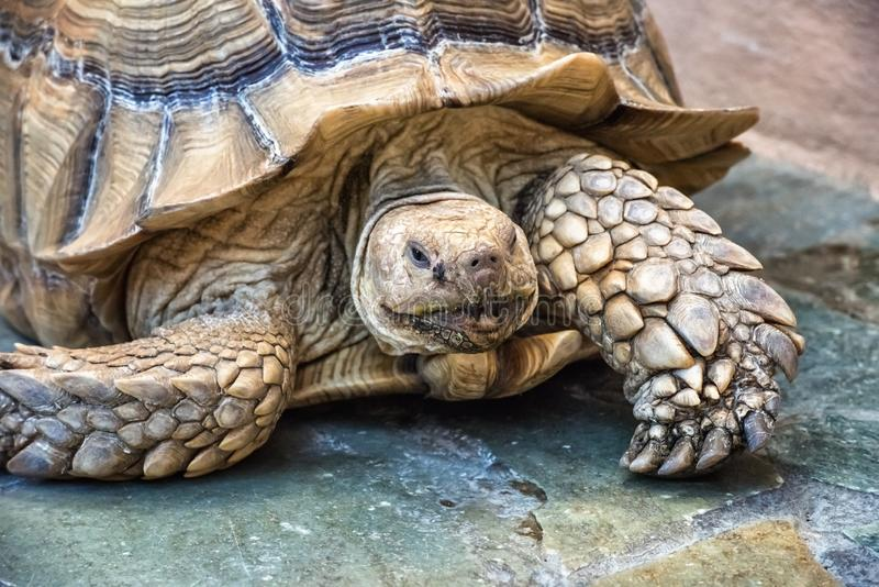 Large brown tortoise on natural stone footpath royalty free stock photography