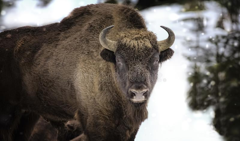 Large brown wisent in the winter forest. Wild European brown bison Bison Bonasus in winter. European wisent in natural habitat. The best photo. Bayerischer stock images
