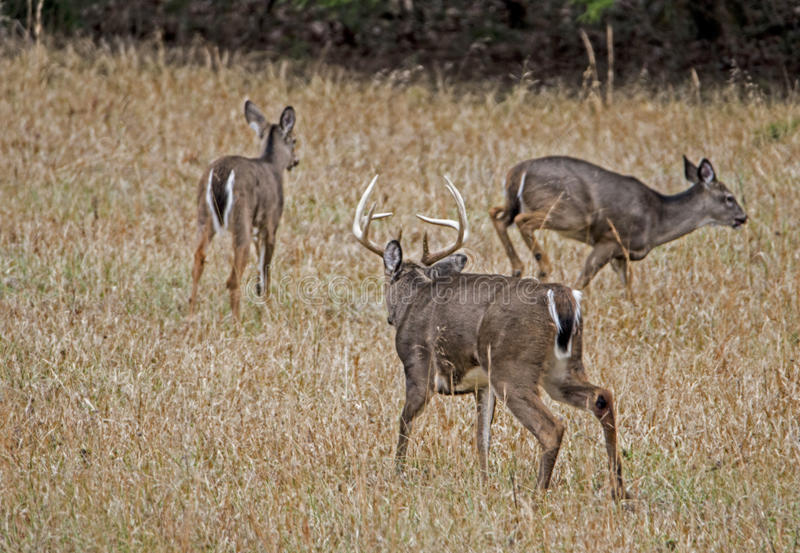 Download Large Buck Chasing Two Younger Bucks Around. Stock Photo - Image: 83707388