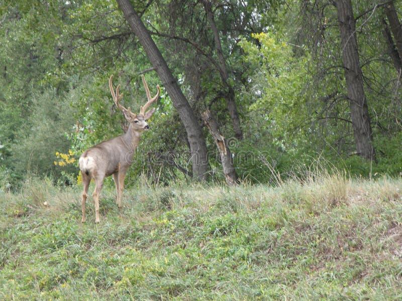 Large Buck Deer Boulder Colorado City limits. Large Buck Deer Boulder, Colorado city limits royalty free stock photos