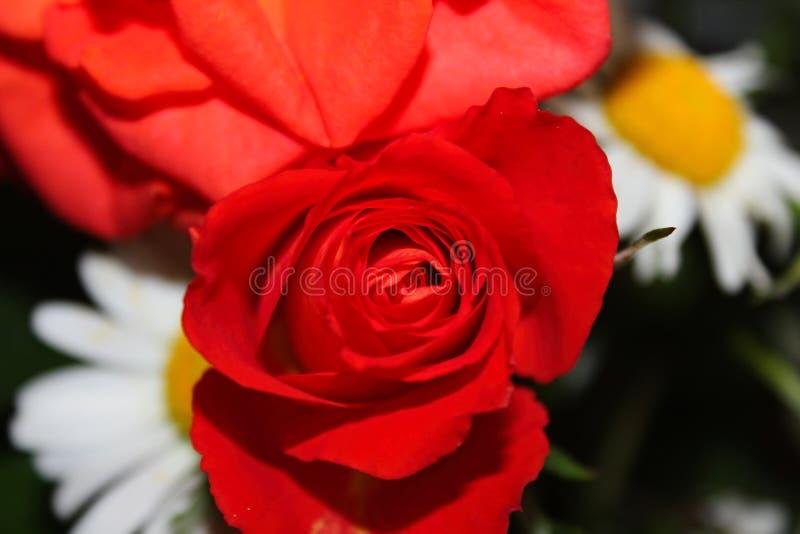 Large bud of red elegant rose flower royalty free stock photography