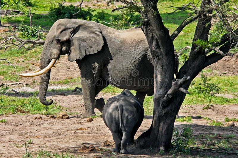 Elephant and Rhino stand off stock photography