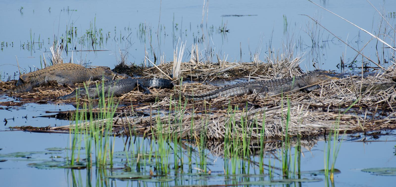 Large Bull Gators, Savannah National Wildlife Refuge stock photography