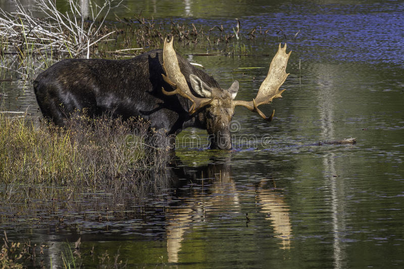 Large Bull Moose Feeding on Water Lilies in Autumn. Large Bull Moose (Alces alces) Feeding on Water Lilies Near the Shore of a Lake in Autumn - Algonquin royalty free stock photography