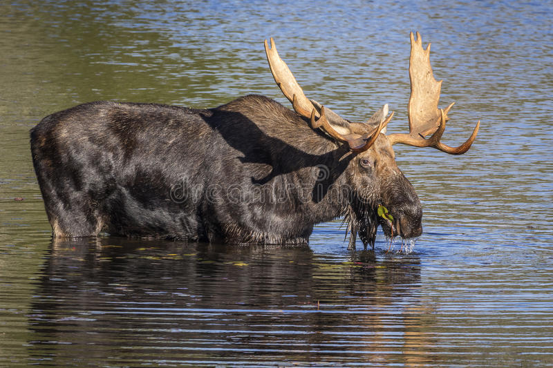 Large Bull Moose Foraging at the Edge of a Lake in Autumn. Bull Moose (Alces alces) with a Large Set of Antlers Foraging at the Edge of a Lake in Autumn royalty free stock photos