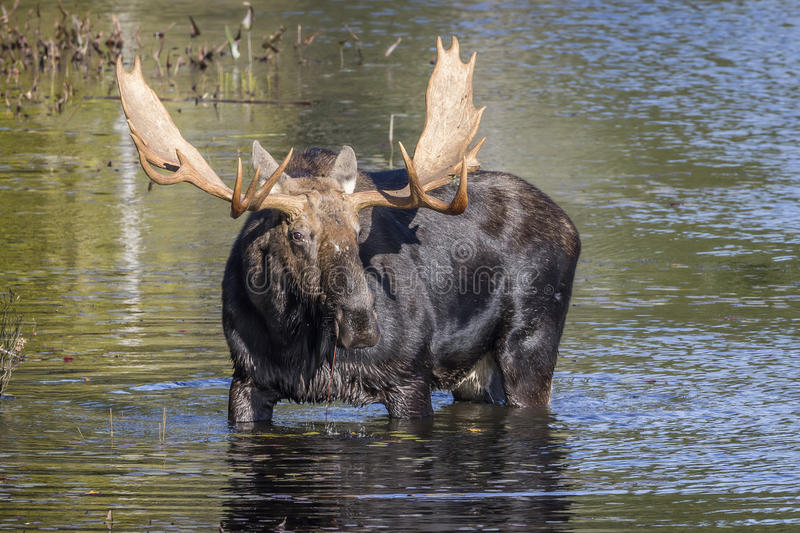 Large Bull Moose Foraging at the Edge of a Lake in Autumn. Bull Moose (Alces alces) with a Large Set of Antlers Foraging at the Edge of a Lake in Autumn stock photos